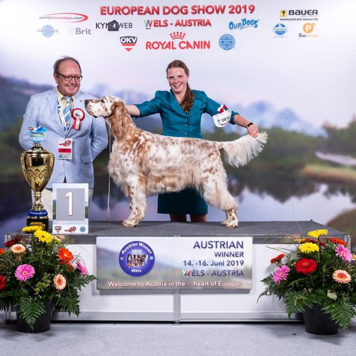 Latin Lover High dream in gold english setter