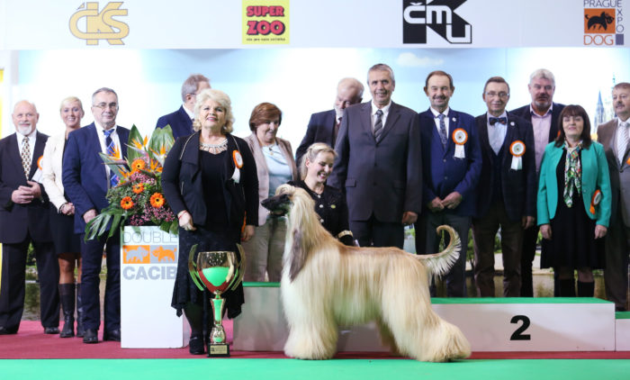 Calamus Copyright afghan hound Kurlowicz