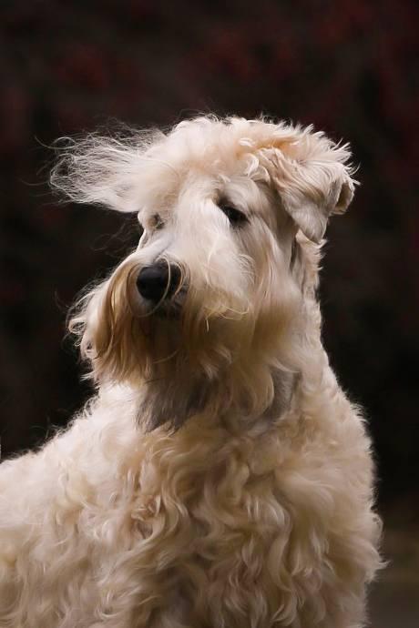 Fibich wheaten terrier kni-york šubertová