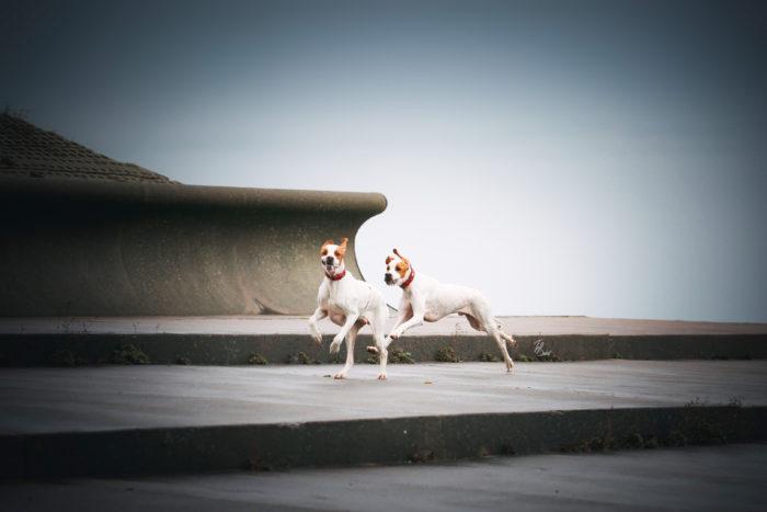 crufts subertova bob ridgeback pointer dog handler results